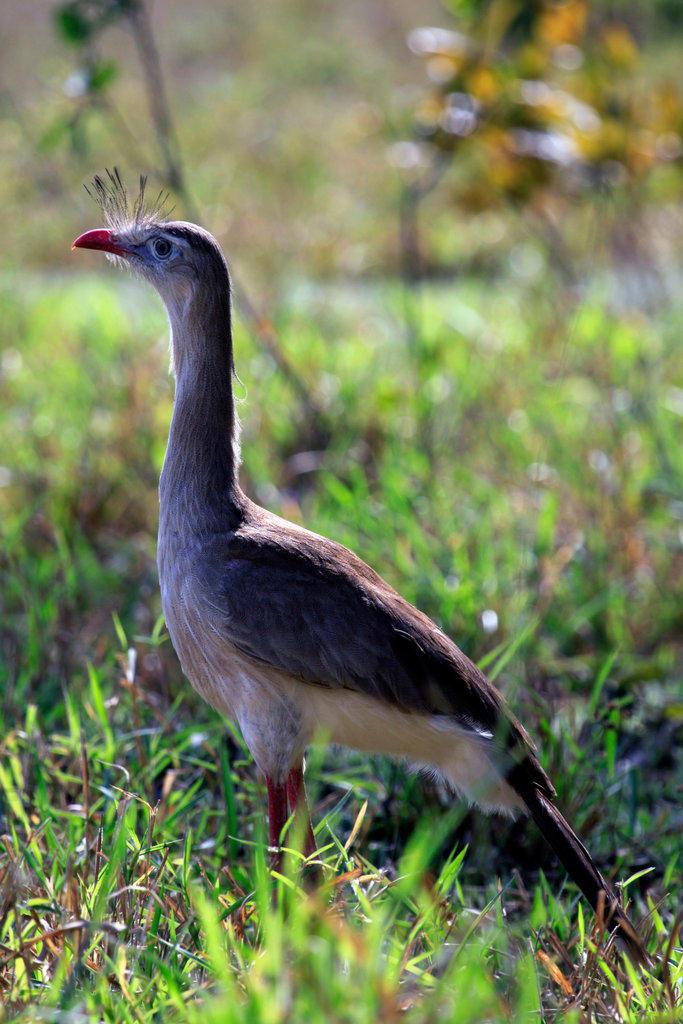 Brazil, Mato Grosso do Sul, Red-legged Seriema (Cariama cristata)  in field east of Aquidauana : Stock Photo