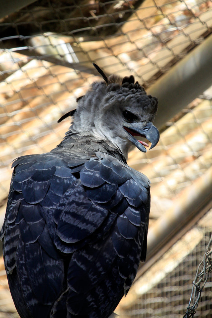 Brazil, Rio Branco, Parque Ambiental Chico Mendes, Harpy Eagle (Harpia harpyja) : Stock Photo