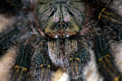 Stock Photo: 4095-201 Brazil, Amazonas State, Close-up of tarantula in Amazon rainforest