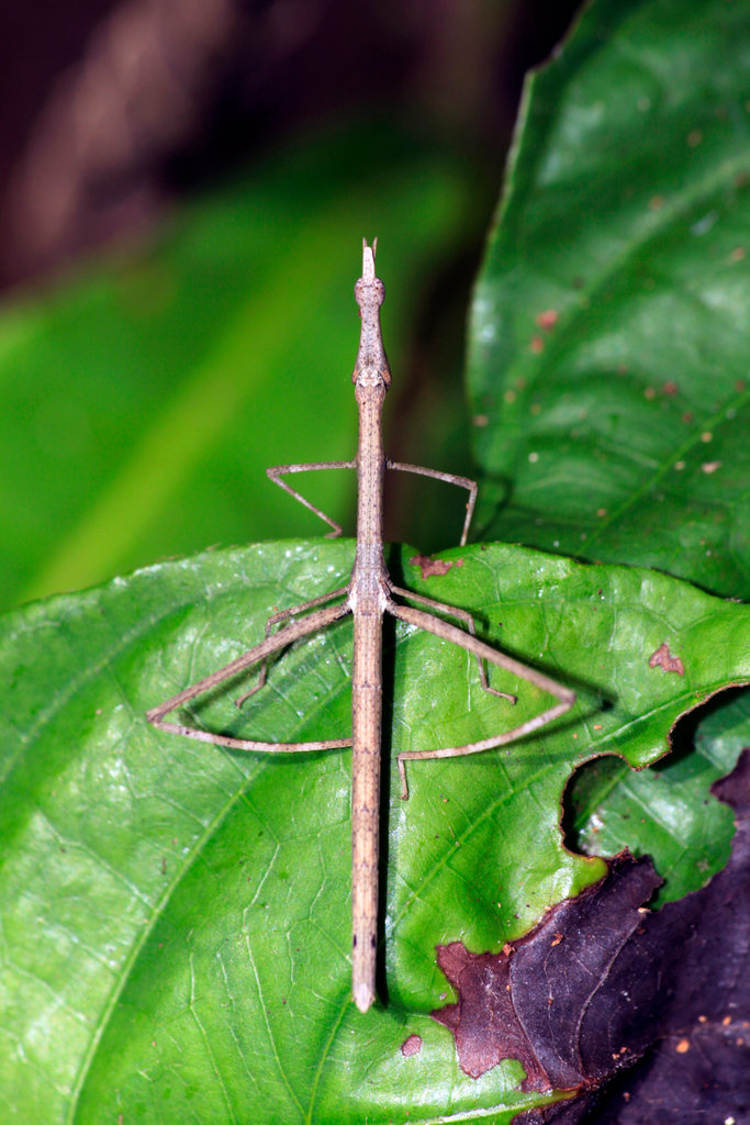 Stock Photo: 4095-203 Brazil, Amazonas State, Walking stick in Amazon rainforest