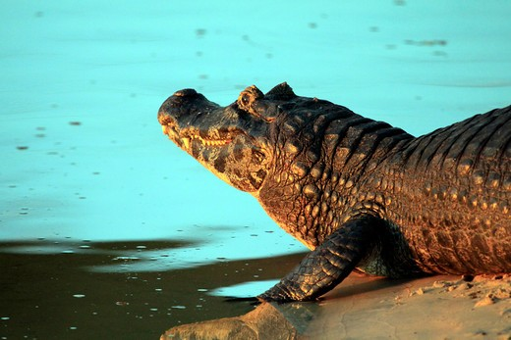 Brazil, Pantanal, Jacare caiman (Caiman yacare) resting along water : Stock Photo