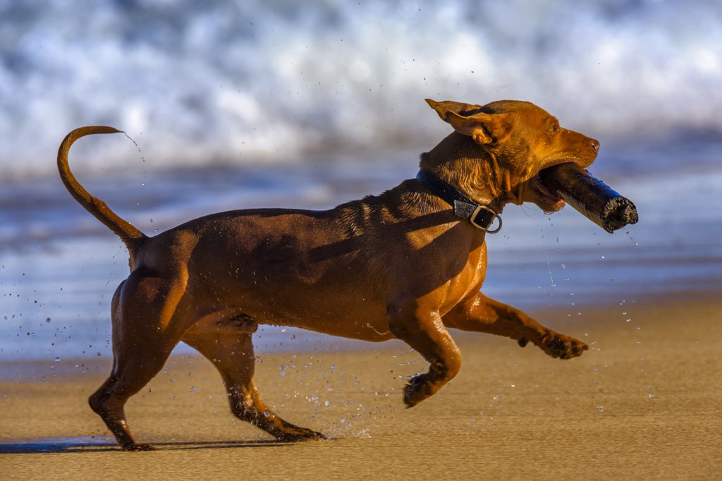 Stock Photo: 4097-1195 Dog with a wood stick running on the beach, Kauai, Hawaii, USA