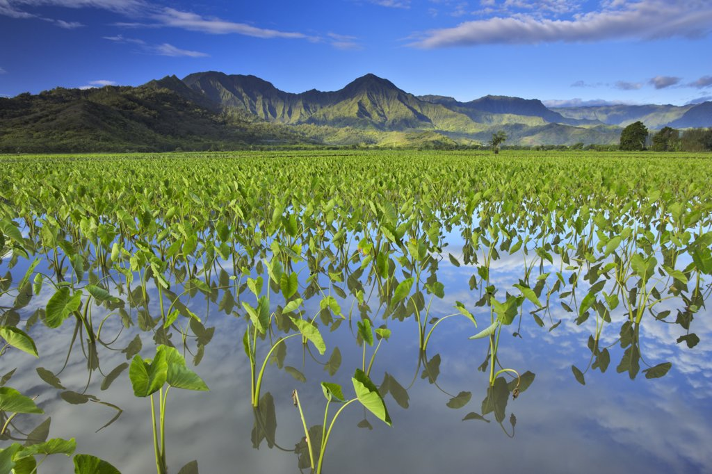 Stock Photo: 4097-1249F Taro (Colocasia esculenta) crop in a field, Hanalei Valley, Kauai, Hawaii, USA