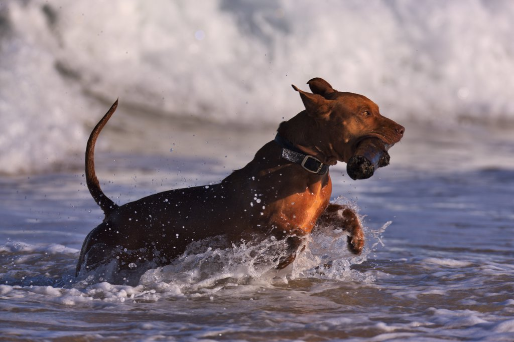 Dog with a wood stick running in an ocean, Kauai, Hawaii, USA : Stock Photo