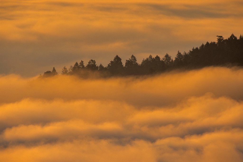 Trees covered with fog in a forest, Saanich Peninsula, Vancouver Island, British Columbia, Canada : Stock Photo
