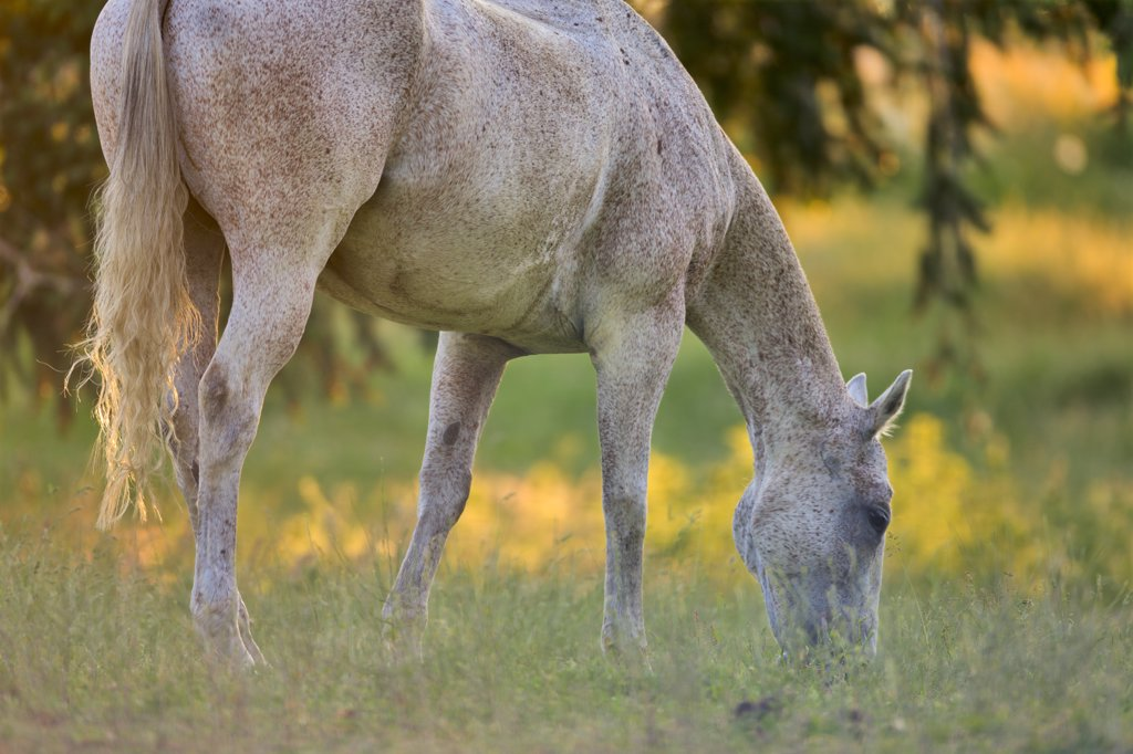 Horse grazing in a field, Saanich Peninsula, Vancouver Island, British Columbia, Canada : Stock Photo