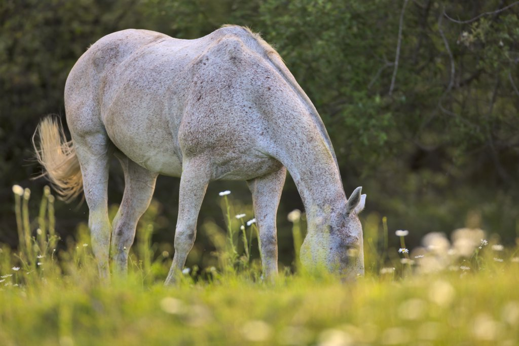 Stock Photo: 4097-1389C Horse grazing in a field, Saanich Peninsula, Vancouver Island, British Columbia, Canada