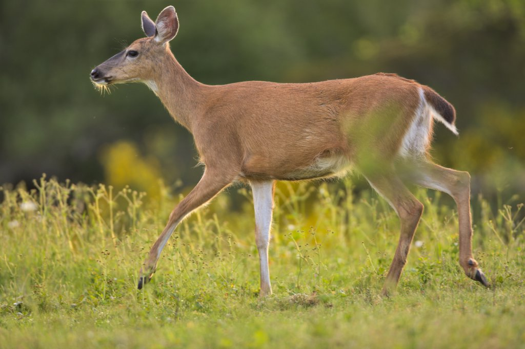 Stock Photo: 4097-1391B Mule deer (Odocoileus hemionus) walking in a field, Saanich Peninsula, Victoria, British Columbia, Canada