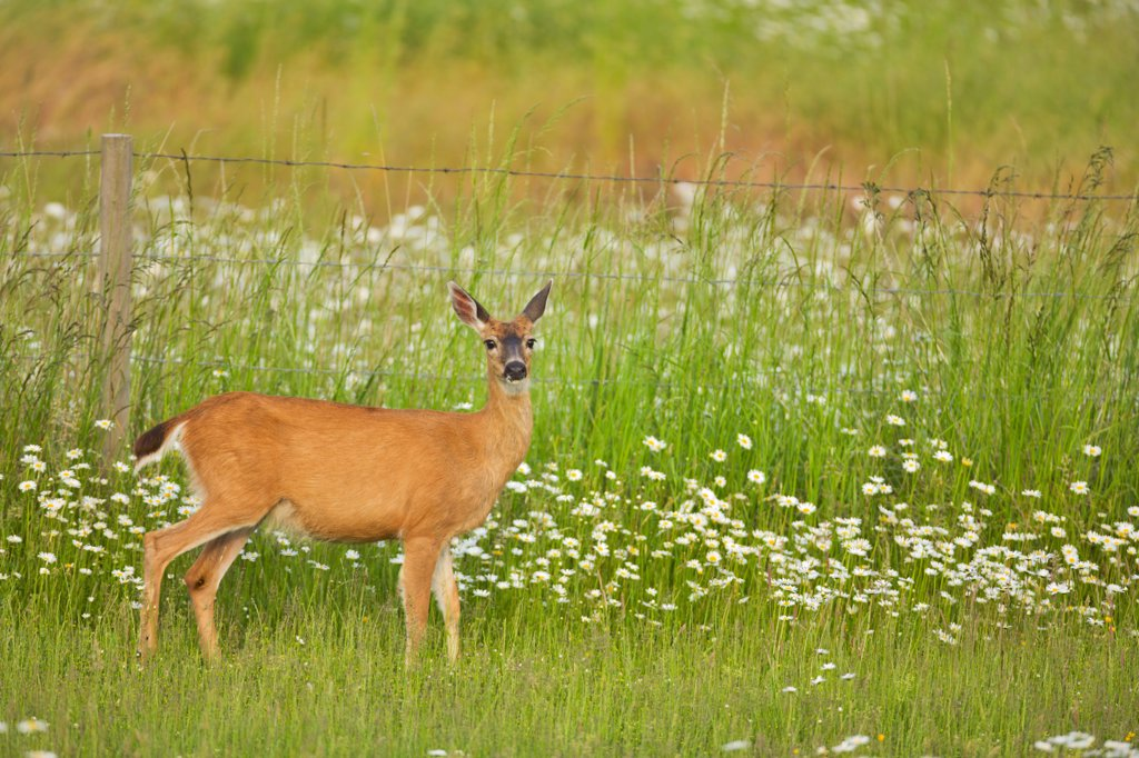 Stock Photo: 4097-1397D Mule deer (Odocoileus hemionus) standing in a field, Saanich Peninsula, Victoria, British Columbia, Canada