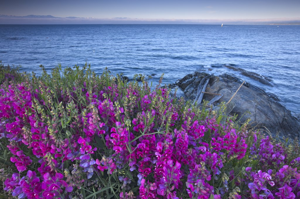 Lupine flowers at the seaside, Strait of Georgia, Victoria, British Columbia, Canada : Stock Photo