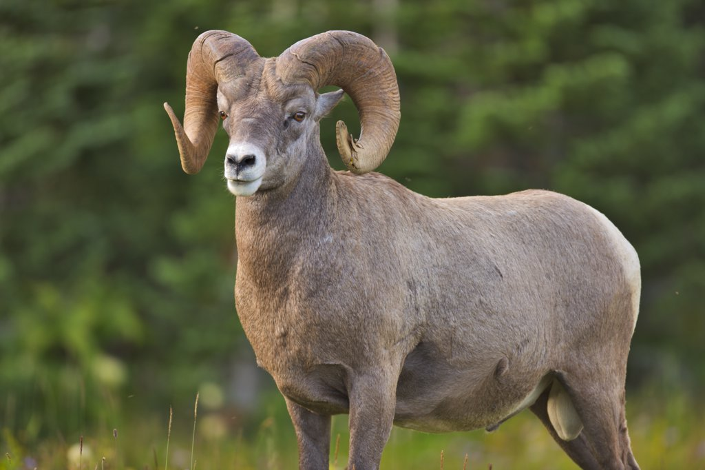 Bighorn sheep (Ovis canadensis) standing in a park, US Glacier National Park, Montana, USA : Stock Photo