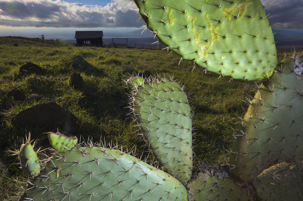 Stock Photo: 4097-1784 Cactus with old salt barn in background, Ka'ono'ulu Ranch, Maui, Hawaii, USA
