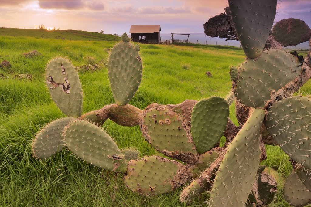 Stock Photo: 4097-1842 Cactus plants with salt barn in background in a field, Ka'ono'ulu Ranch, Maui, Hawaii, USA