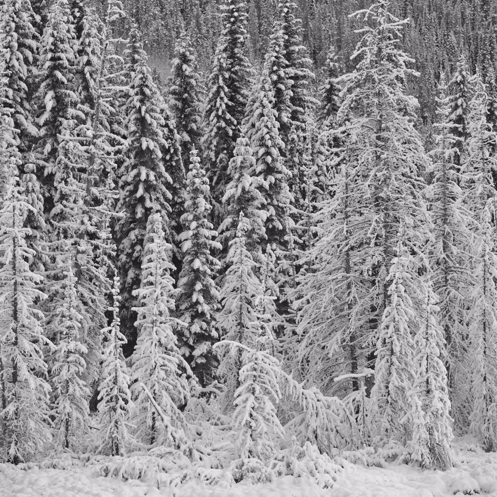 Stock Photo: 4097-1917 Snow covered trees in a forest, Jasper National Park, Alberta, Canada