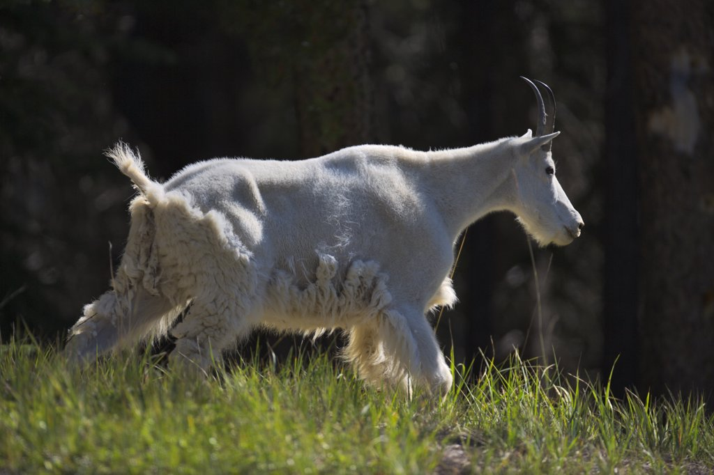 Stock Photo: 4097-1951 Mountain goat (Oreamnos americanus) running in a field, Jasper National Park, Alberta, Canada