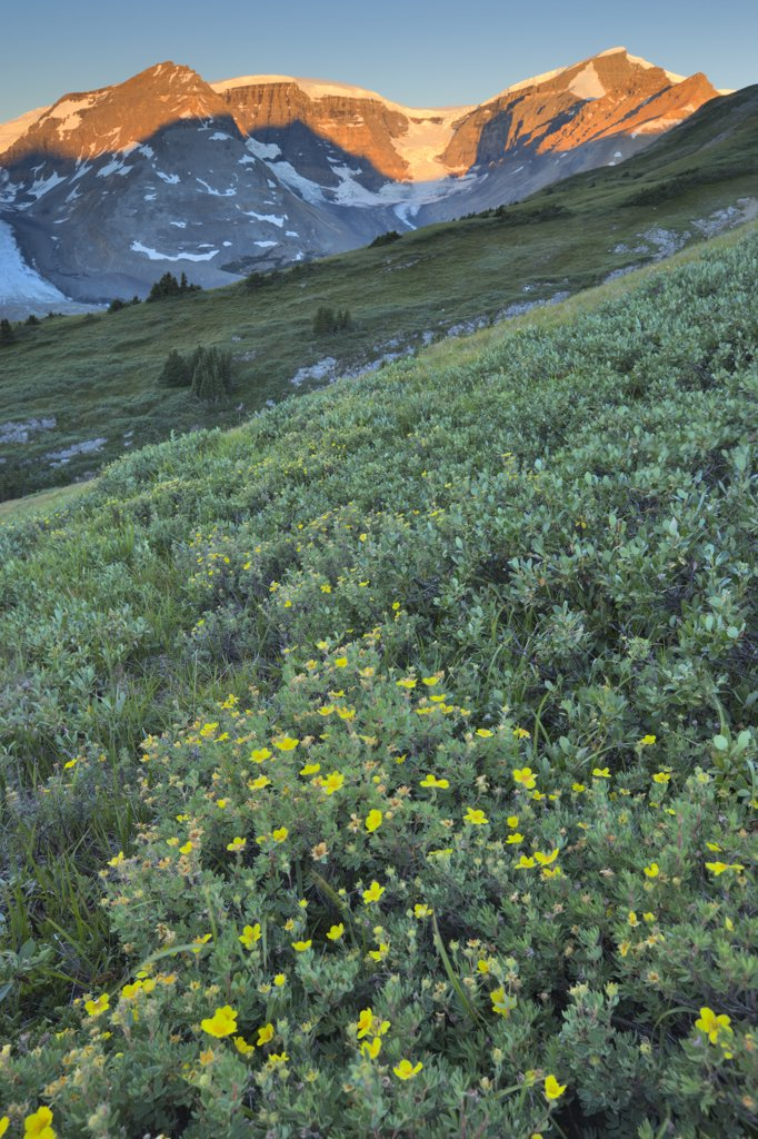 Stock Photo: 4097-1970B Wildflowers in a field, Athabasca Glacier, Jasper National Park, Alberta, Canada