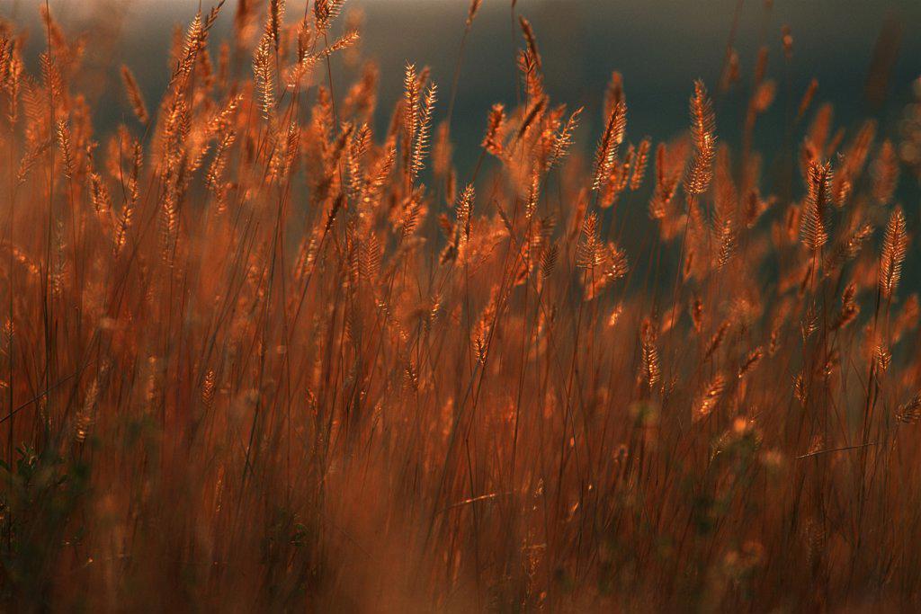 Stock Photo: 4097-1991 Crop in a field, Alberta, Canada