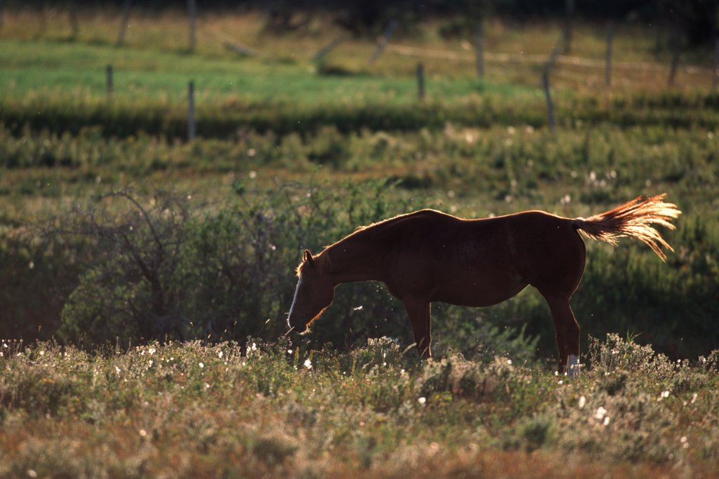 Horse grazing in a pasture, Alberta, Canada : Stock Photo