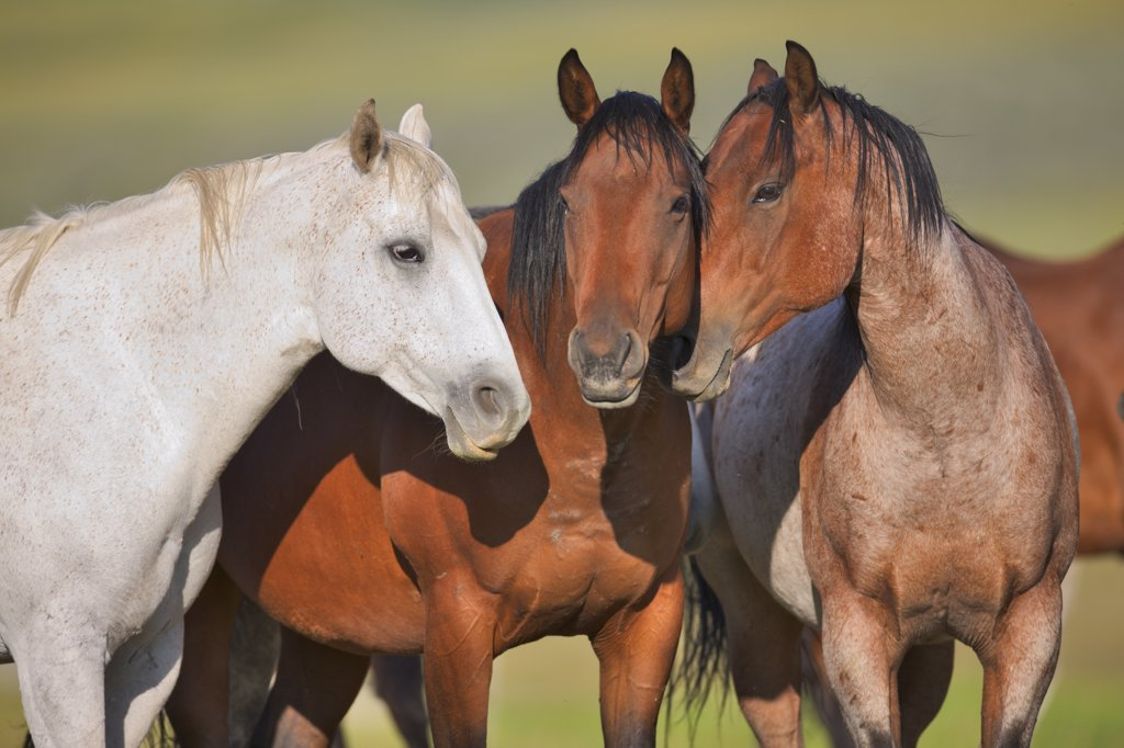 Horses standing in a ranch, Alberta, Canada : Stock Photo