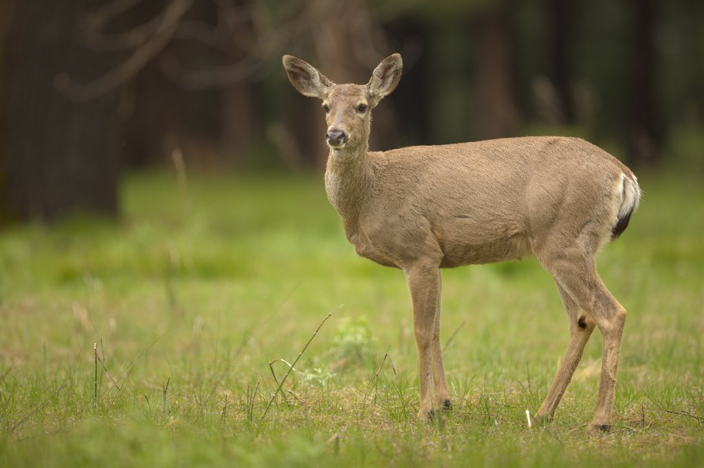 Stock Photo: 4097-2209 Mule deer (Odocoileus hemionus) standing in a field, Yosemite National Park, California, USA