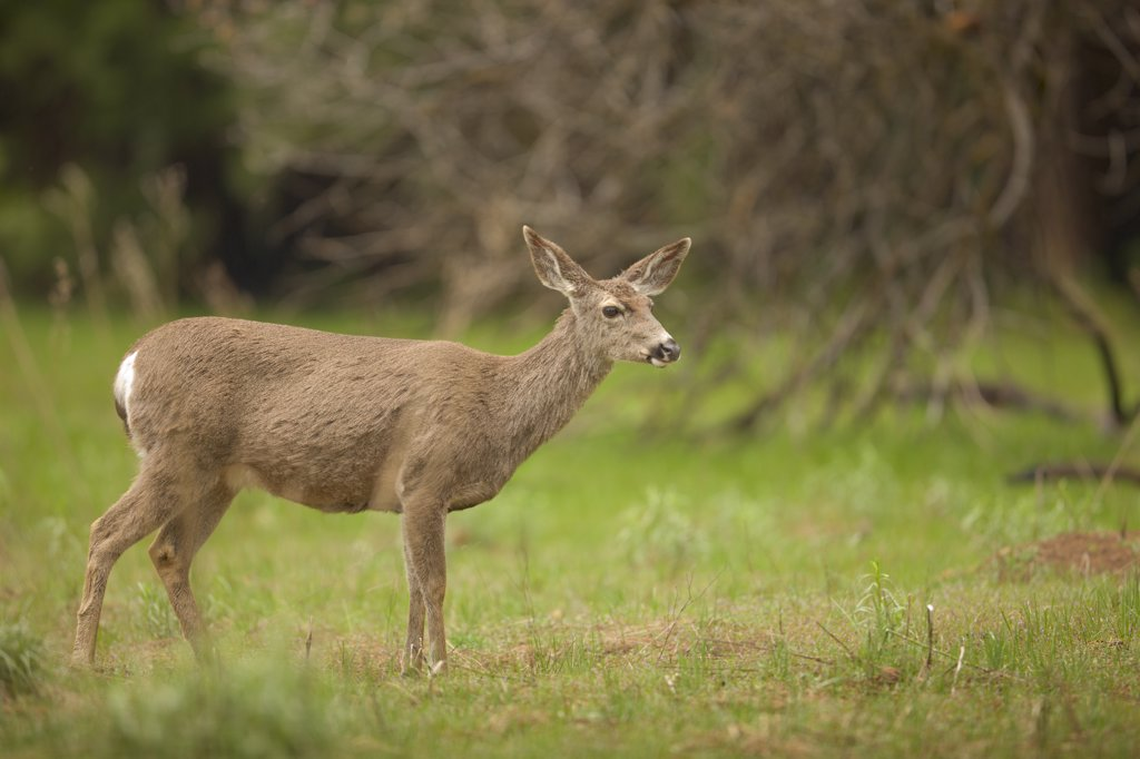Stock Photo: 4097-2210 Mule deer (Odocoileus hemionus) standing in a field, Yosemite National Park, California, USA