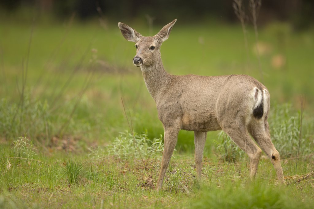 Stock Photo: 4097-2211 Mule deer (Odocoileus hemionus) standing in a field, Yosemite National Park, California, USA