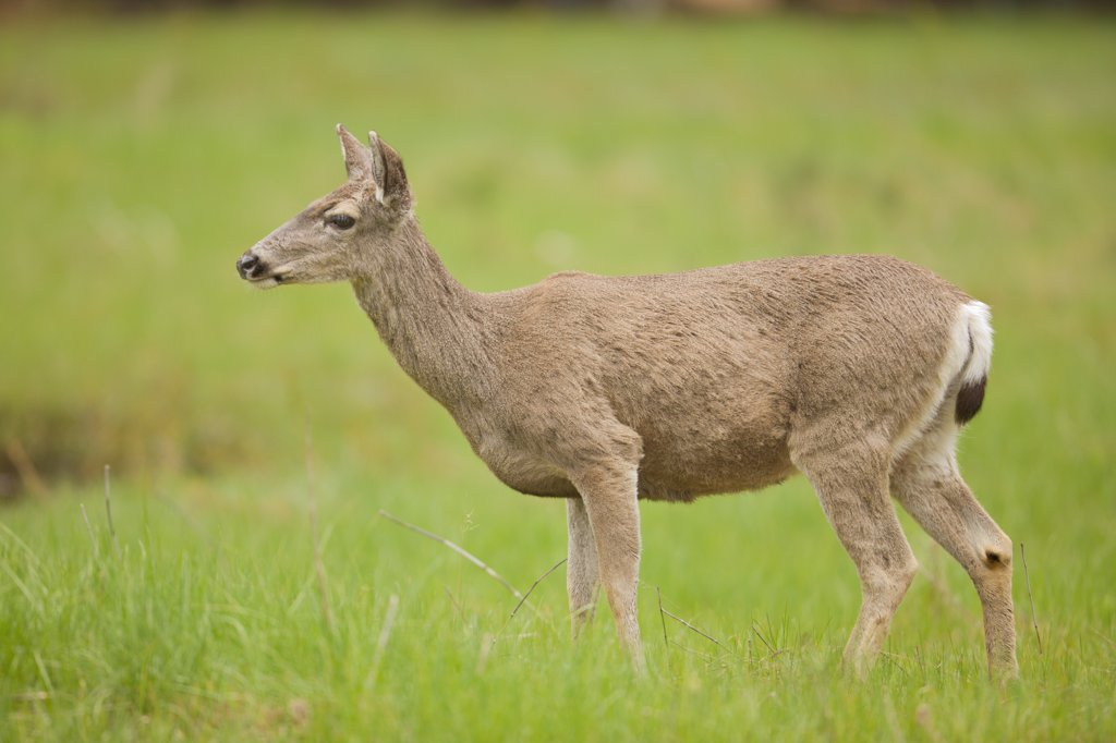 Mule deer (Odocoileus hemionus) standing in a field, Yosemite National Park, California, USA : Stock Photo