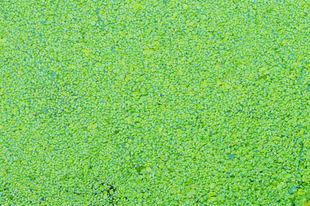 Algae in a lake, Swan Lake, Saanich Peninsula, Victoria, Vancouver Island, British Columbia, Canada : Stock Photo