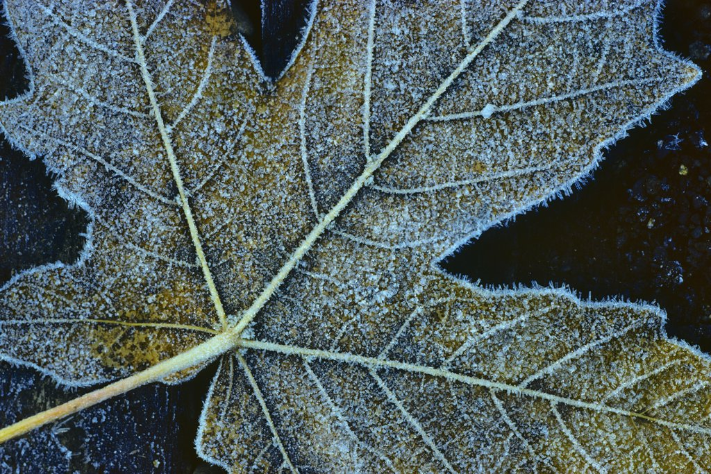 Stock Photo: 4097-2386 Close-up of a fallen maple leaf, Vancouver Island, British Columbia, Canada