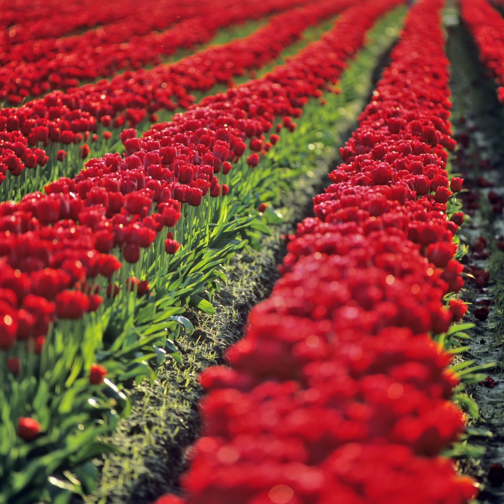Stock Photo: 4097-2480 USA, Washington, Skagit County, Field of red Tulips