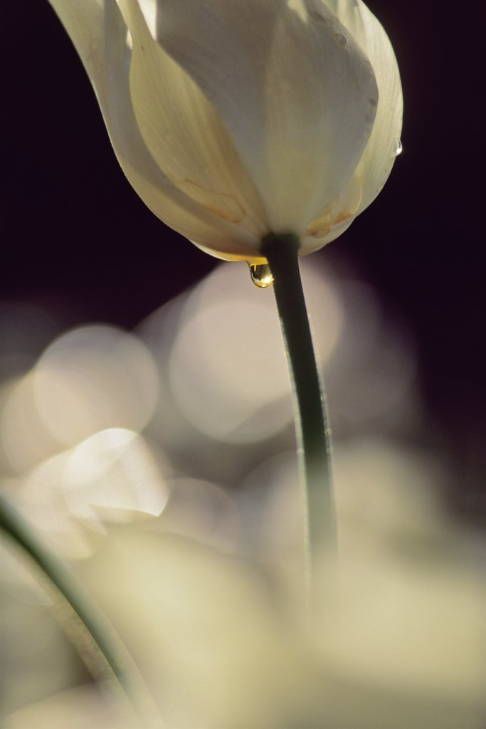 USA, Washington, Skagit County, White Tulip : Stock Photo