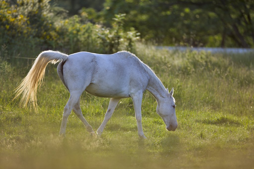 Horse in a pasture, Victoria, Vancouver Island, British Columbia, Canada : Stock Photo