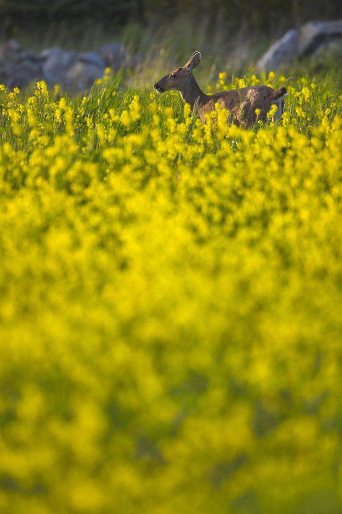 Stock Photo: 4097-2857 Mule deer (Odocoileus hemionus) in canola field, Victoria, Vancouver Island, British Columbia, Canada