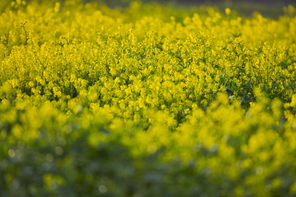 Canola field, Victoria, Vancouver Island, British Columbia, Canada : Stock Photo