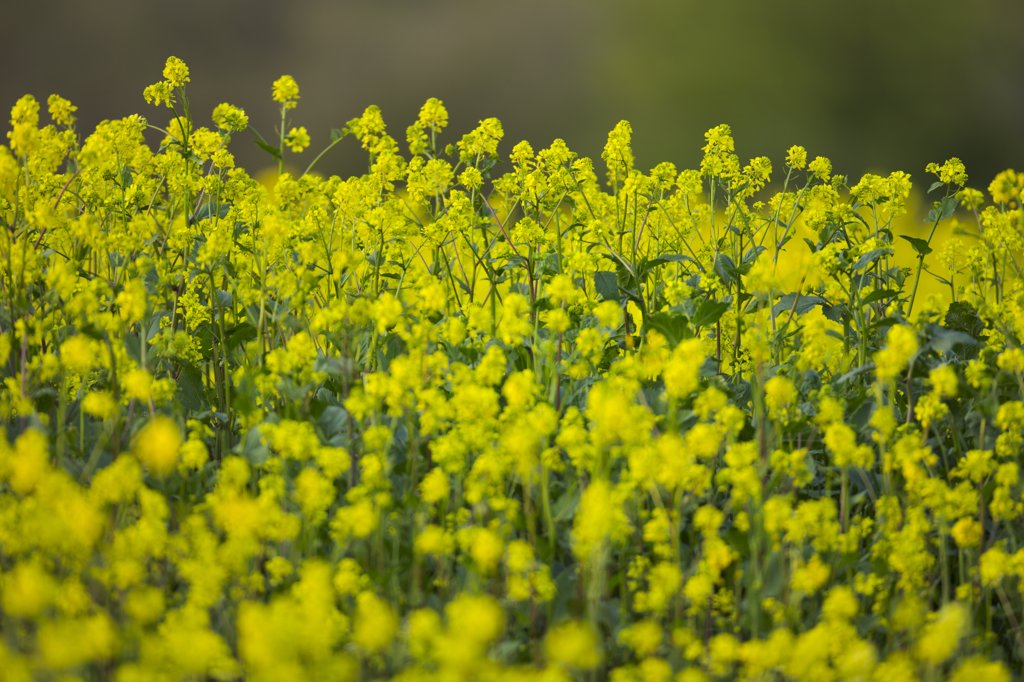Stock Photo: 4097-2923E Canola field, Victoria, Vancouver Island, British Columbia, Canada