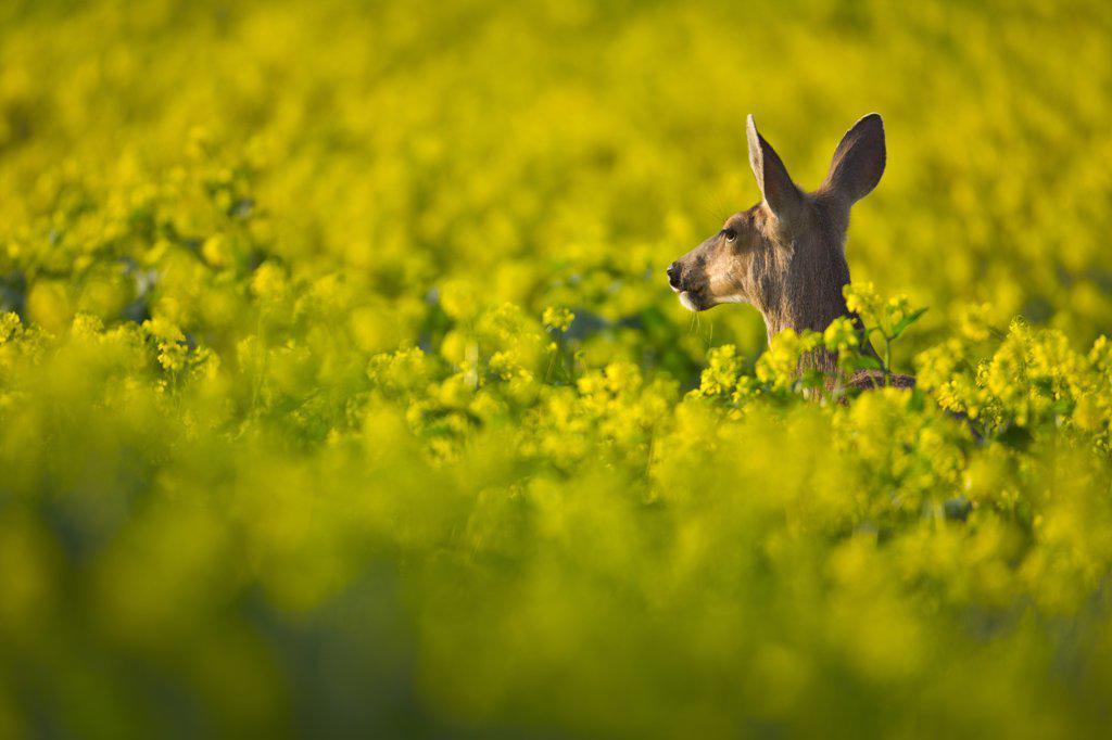 Mule deer (Odocoileus hemionus) in canola field, Victoria, Vancouver Island, British Columbia, Canada : Stock Photo