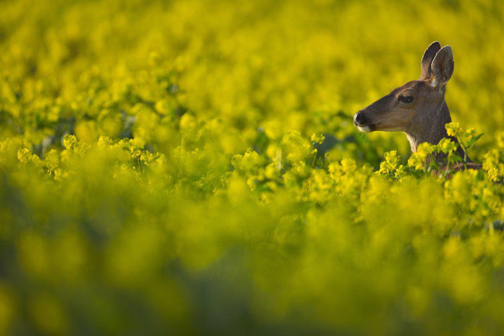 Stock Photo: 4097-2926B Mule deer (Odocoileus hemionus) in canola field, Victoria, Vancouver Island, British Columbia, Canada