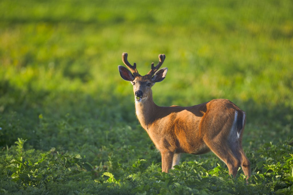 Mule deer (Odocoileus hemionus) standing in a field, Victoria, Vancouver Island, British Columbia, Canada : Stock Photo