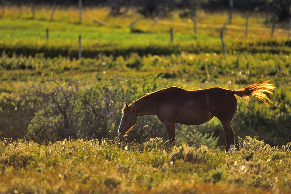 Stock Photo: 4097-3108 Horse grazing in a field, Alberta, Canada