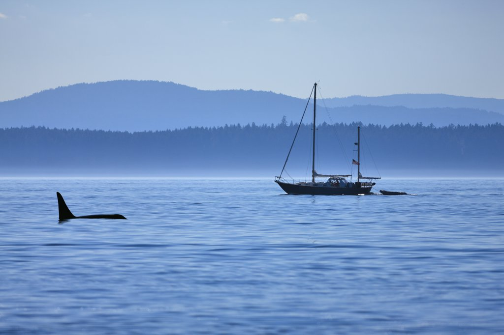 Killer whale (Orcinus orca) swimming in water, Strait Of Juan De Fuca, Victoria, Vancouver Island, British Columbia, Canada : Stock Photo