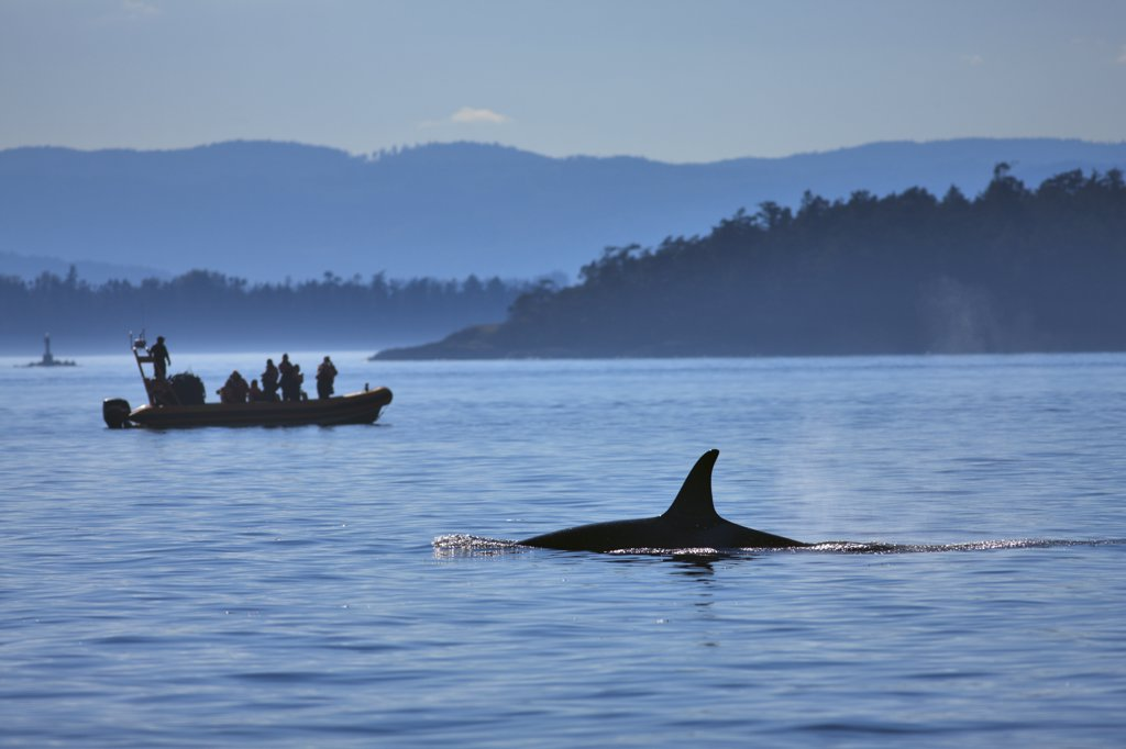 Killer whale (Orcinus orca) with whale watching boat in an ocean, Strait Of Juan De Fuca, Victoria, Vancouver Island, British Columbia, Canada : Stock Photo