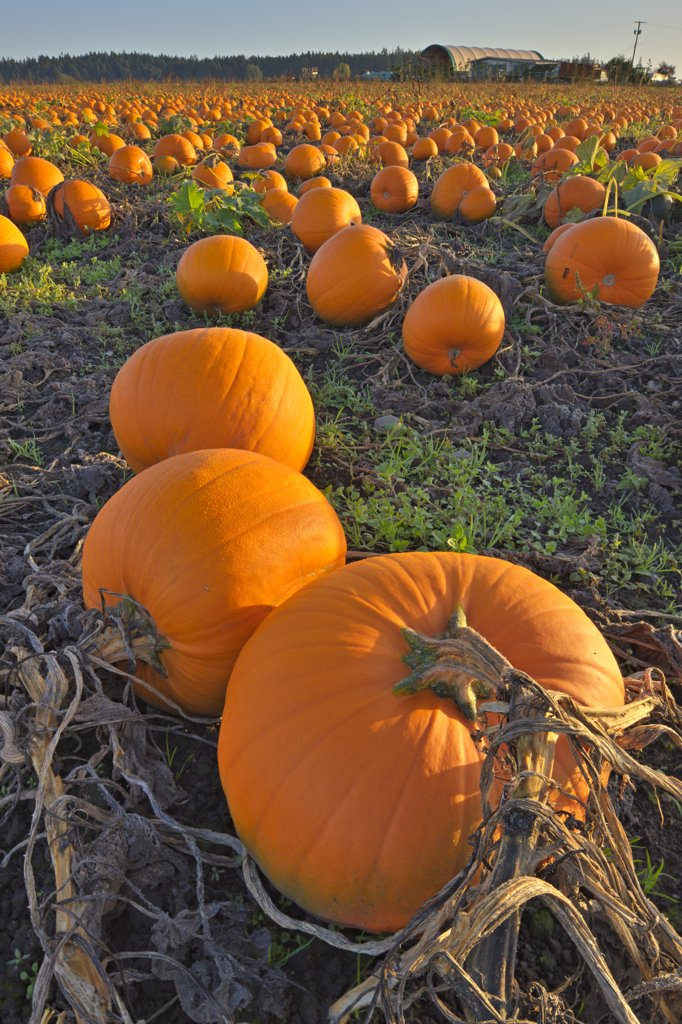 Pumpkins in a field, Saanich Peninsula, Vancouver Island, British Columbia, Canada : Stock Photo