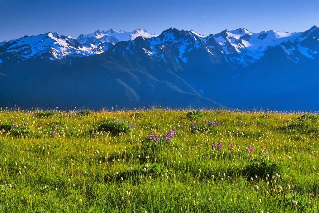 Wildflowers blooming in front of mountains, Hurricane Ridge, Olympic National Park, Washington State, USA : Stock Photo