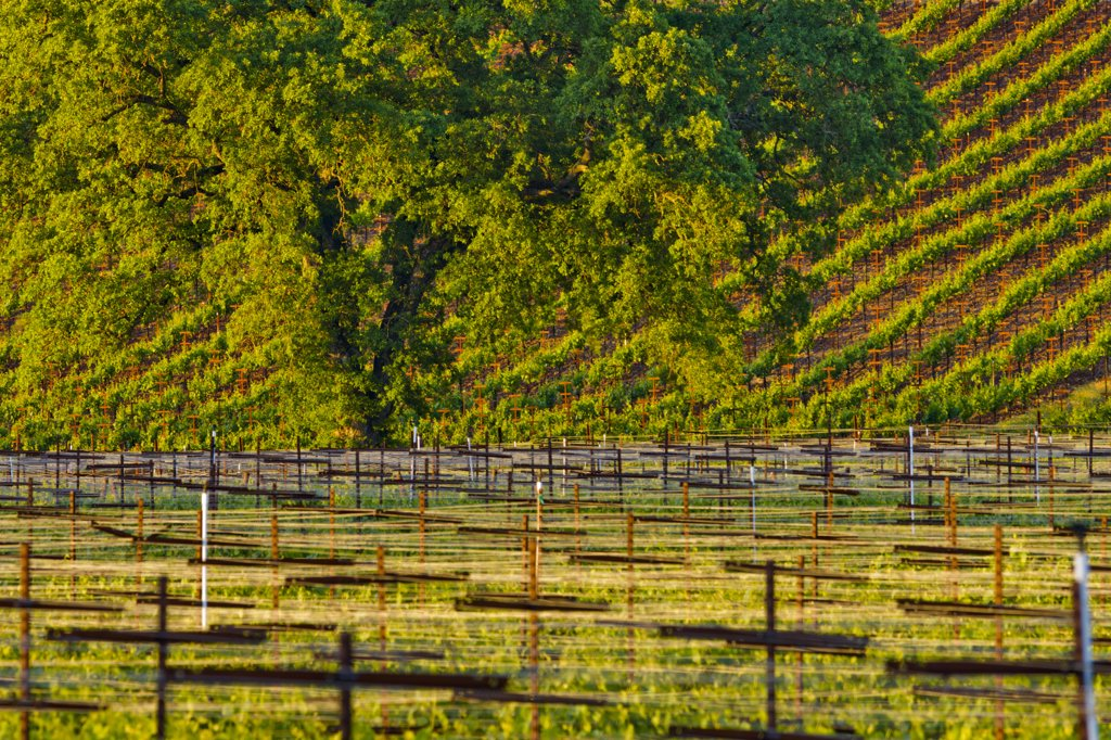 Vineyard, Sonoma Valley, Sonoma County, California, USA : Stock Photo