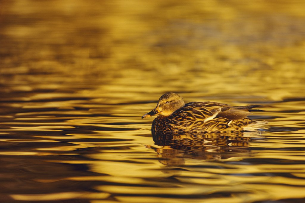 Stock Photo: 4097-3807 Mallard Duck (Anas platyrhynchos) on pond at sunset