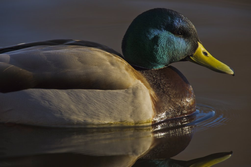 Stock Photo: 4097-3811 Mallard Duck (Anas platyrhynchos) on pond at sunset