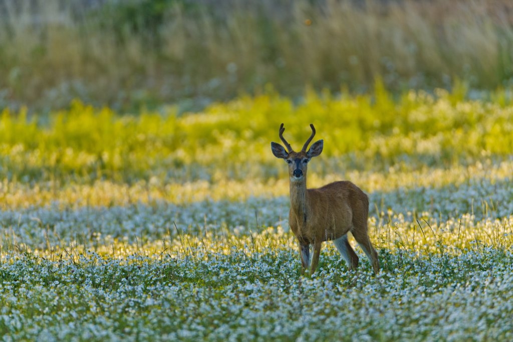 Stock Photo: 4097-3827 Canada, British Columbia, Vancouver Island, Blacktail Deer