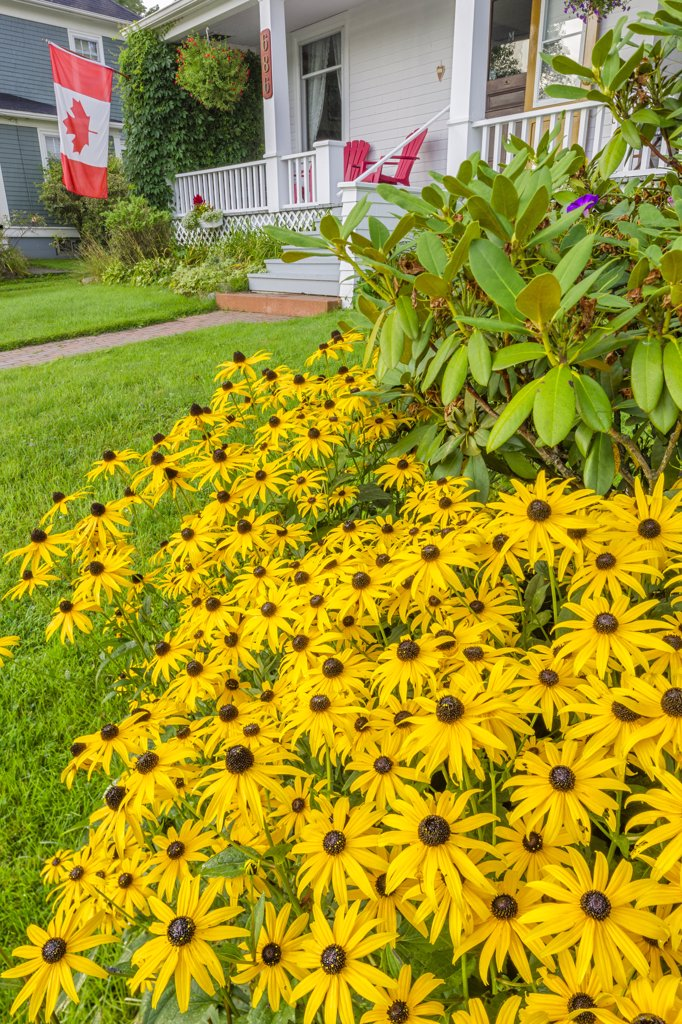 Stock Photo: 4097-4008 Coneflowers in a lawn in the lawn of a Bed and Breakfast, Mahone Bay, Nova Scotia, Canada