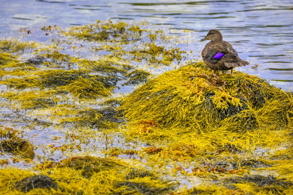 Stock Photo: 4097-4025 Duck on seaweed, Boutiliers Point, Nova Scotia, Canada