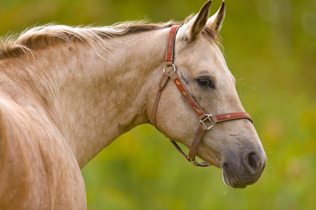 Close-up of a horse, Cape Turner, Prince Edward Island, Canada : Stock Photo